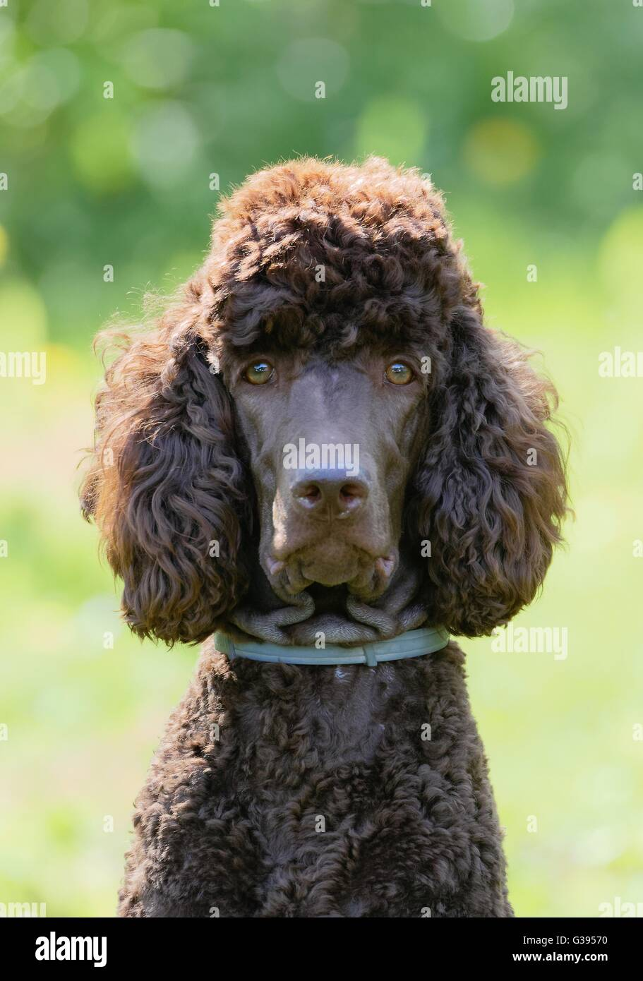 Poodle portrait in the summer with bright green background. Brown standard poodle sitting on the grass with smart look in its eyes.. Stock Photo