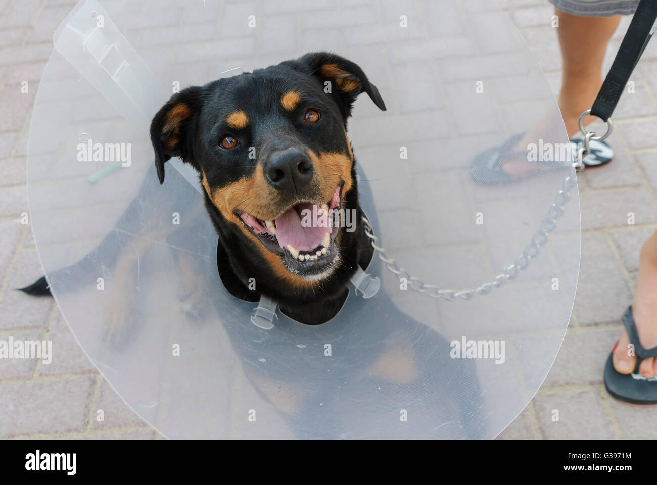 Dog (labrottie) wearing e-collar after surgery to prevents pet from licking and biting wounds, for faster healing. - Stock Image