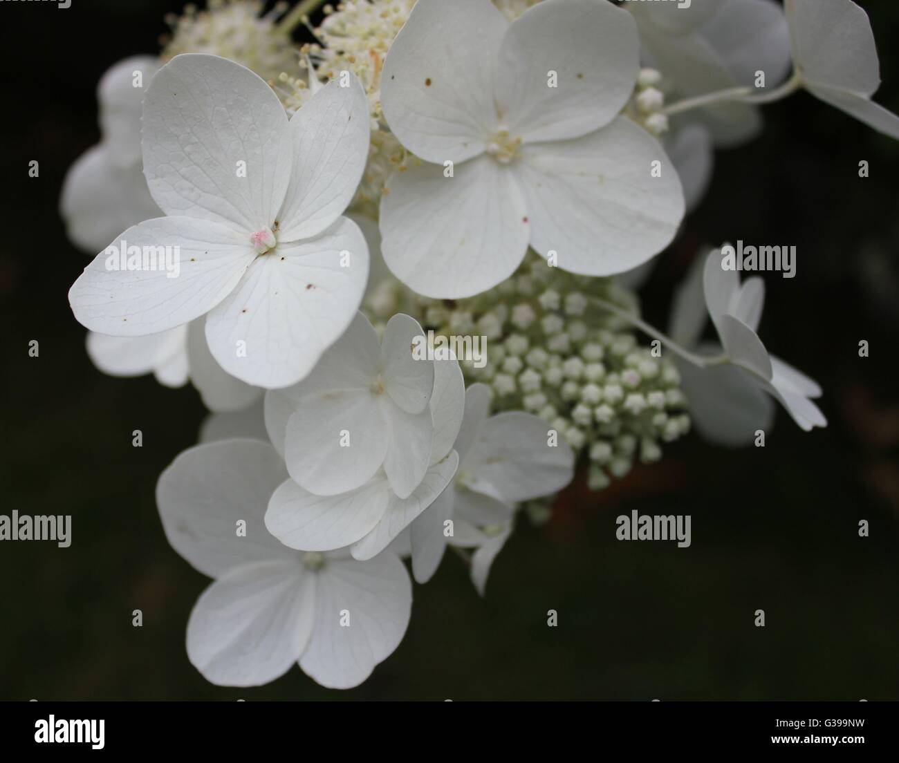 Close Up Of White Hydrangea Flower With Black Background Stock Photo