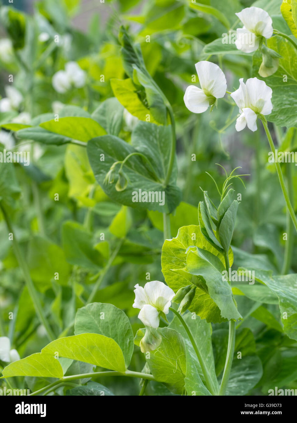 Garden pea plants. Traditional white flower variety. - Stock Image
