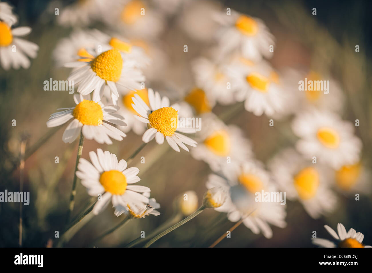 Beautiful field of daisy flowers, summer background concept - Stock Image