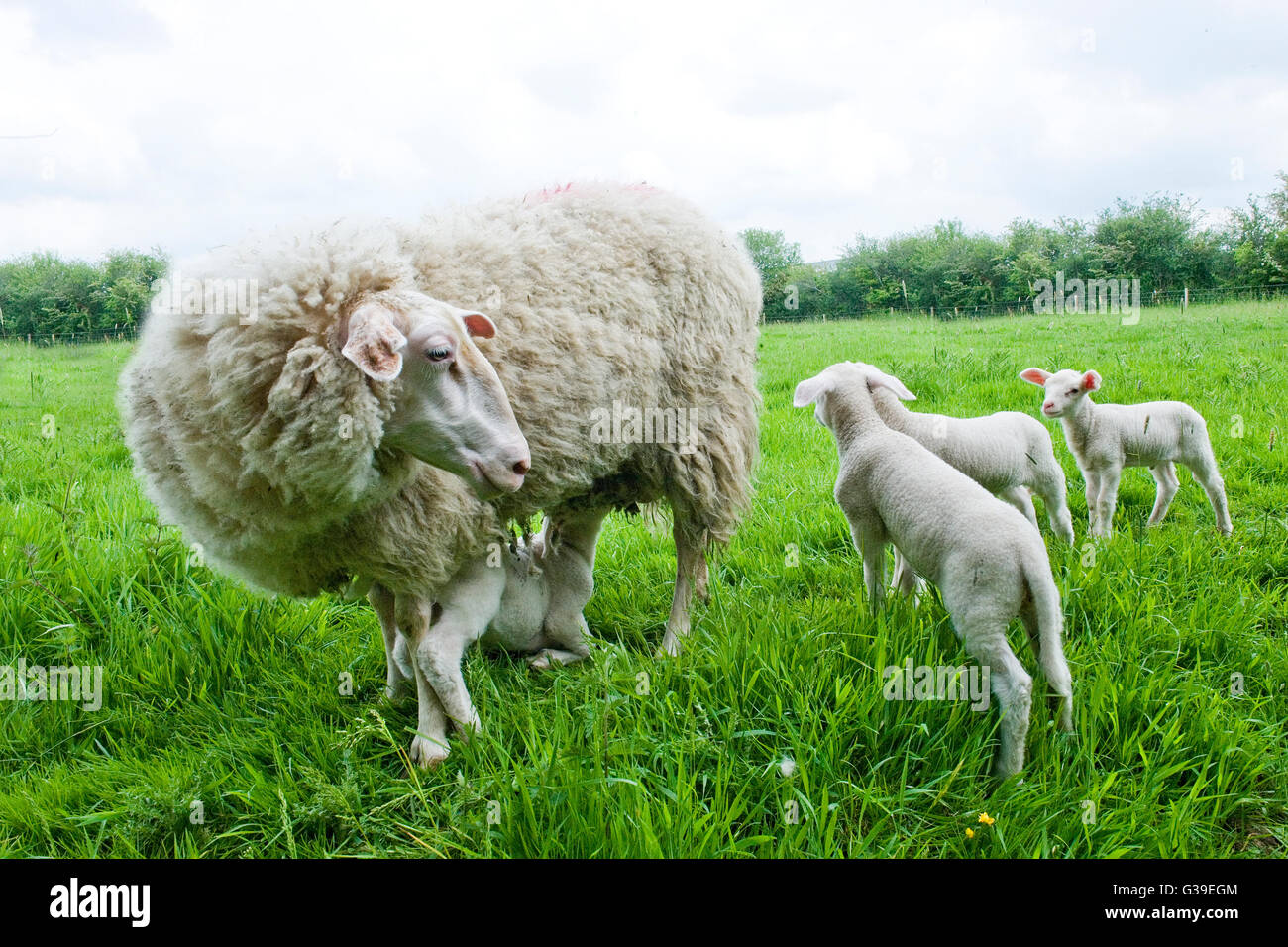 ewe and her four lambs - Stock Image