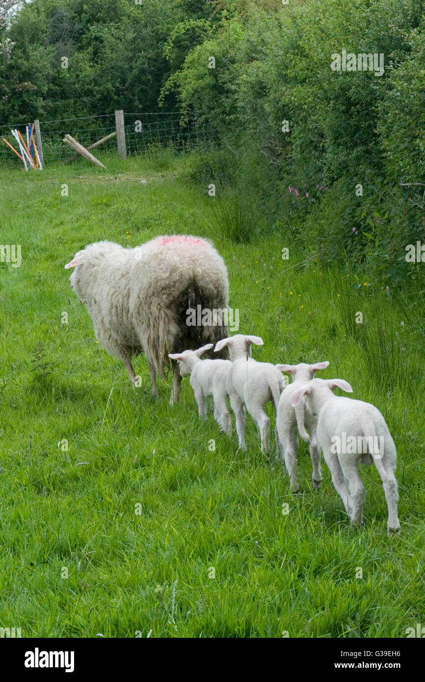 sheep with quadruplet lambs - Stock Image