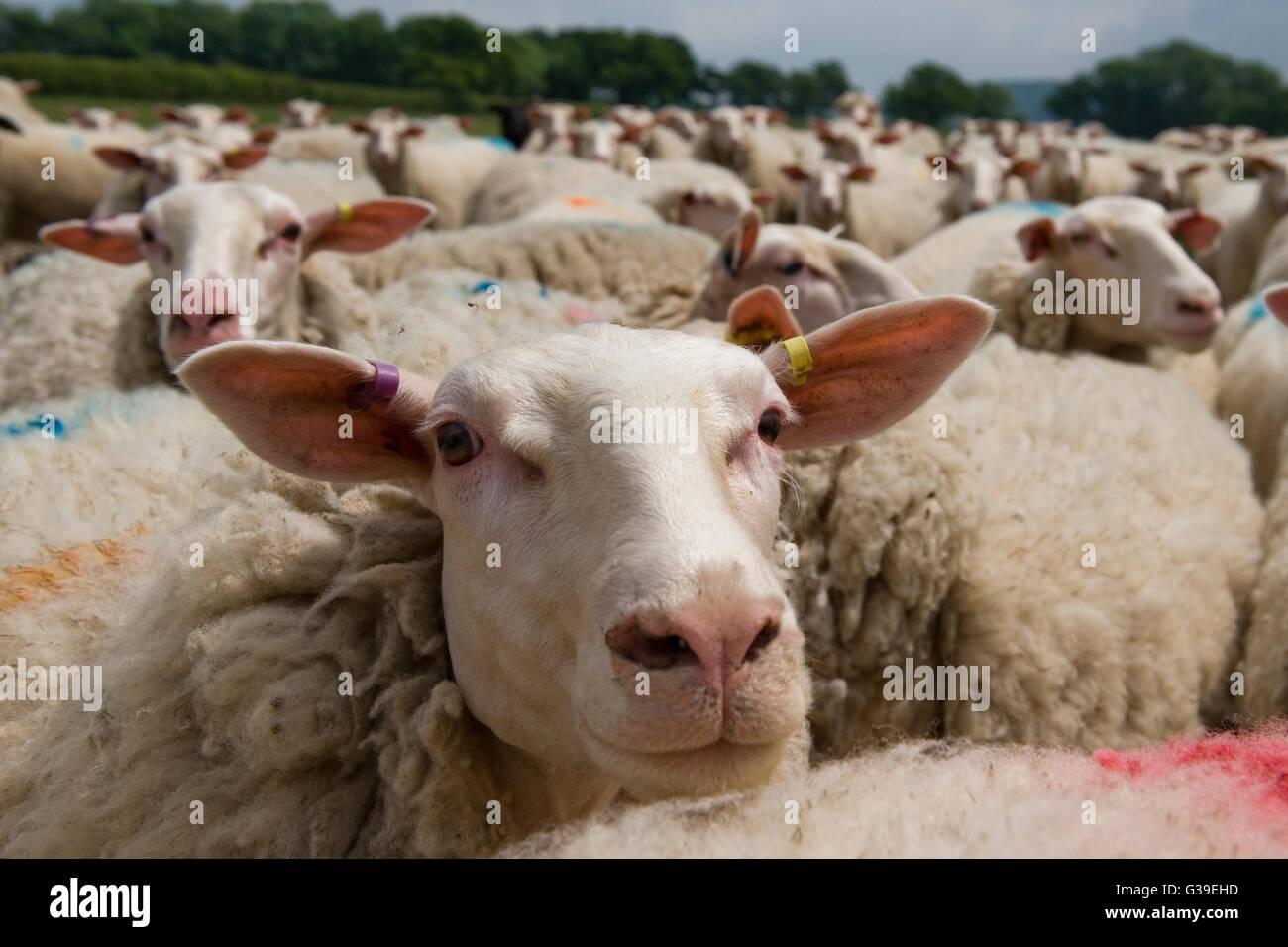 flock of friesland/fresian milking sheep - Stock Image