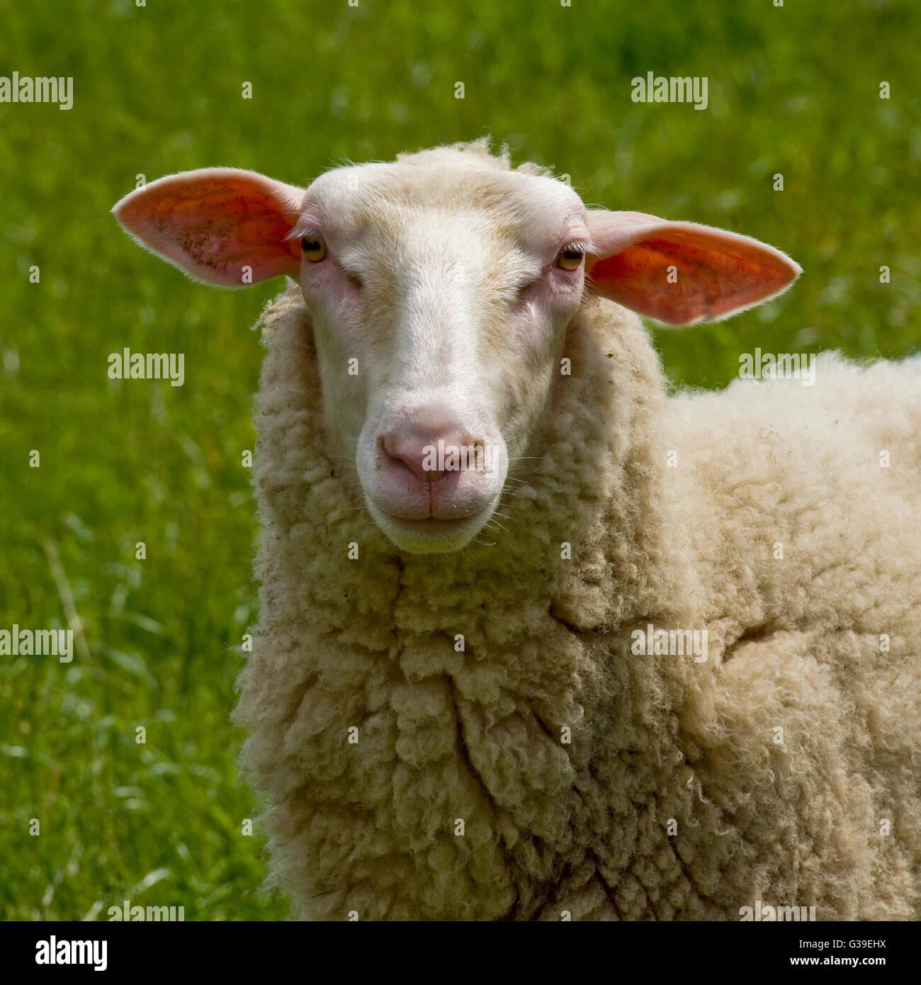 fresian sheep - Stock Image