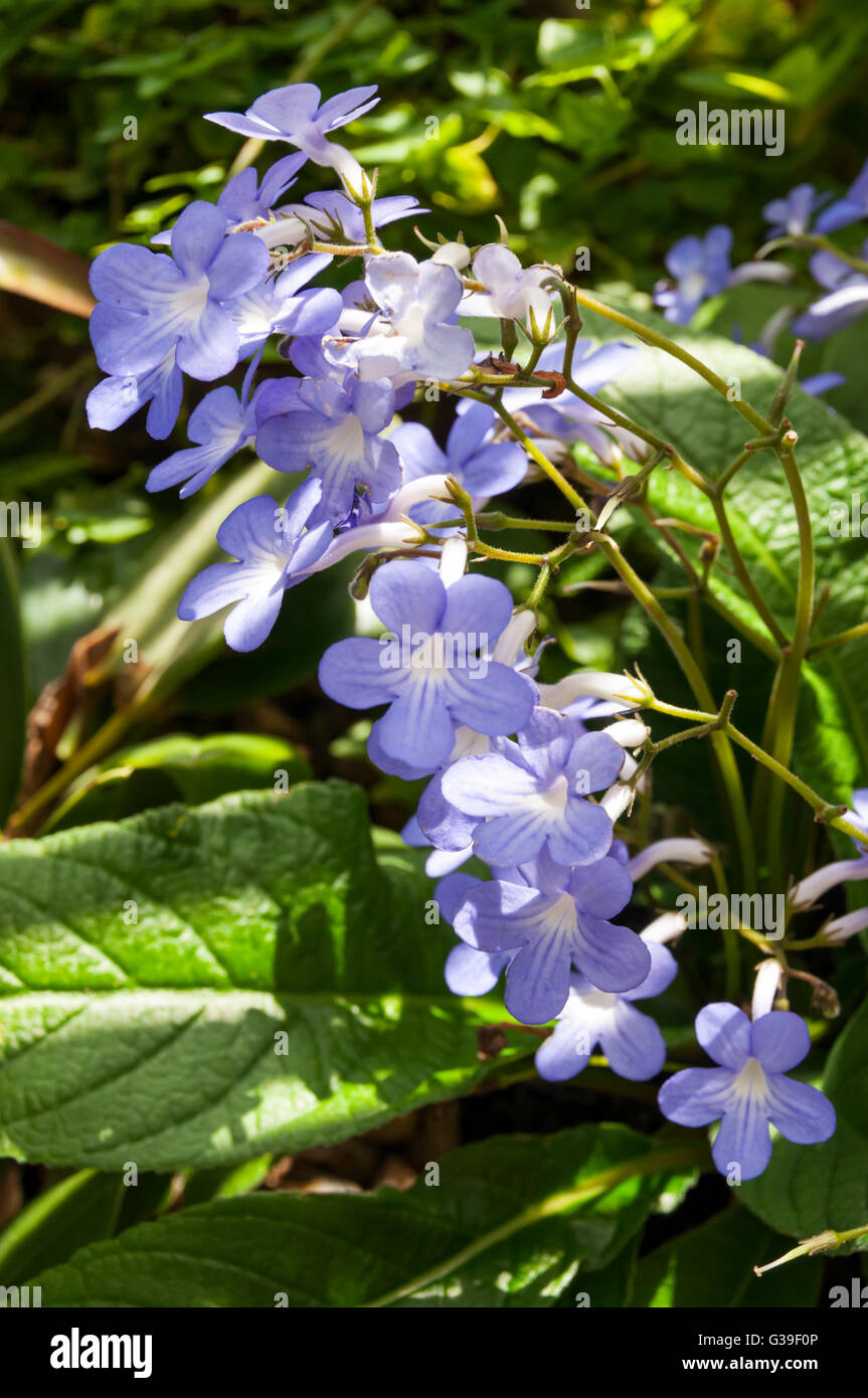 "Cape Primrose or Streptocarpus 'Falling Stars"" Stock Photo"
