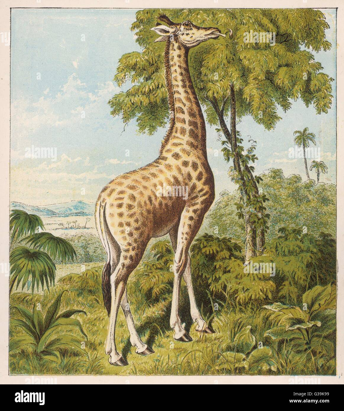 A giraffe uses its dextrous  tongue to pick off the leaves  from a very tall tree        Date: circa 1880 - Stock Image