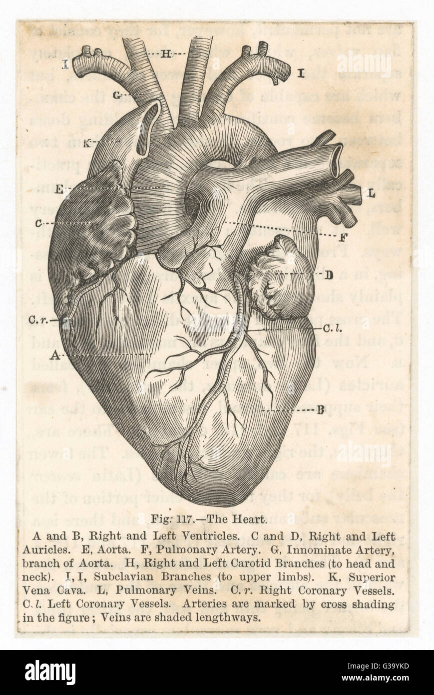 the heart showing the  ventricles, auricles, aorta,  arteries, carotid branches  and other associated  vessels  - Stock Image