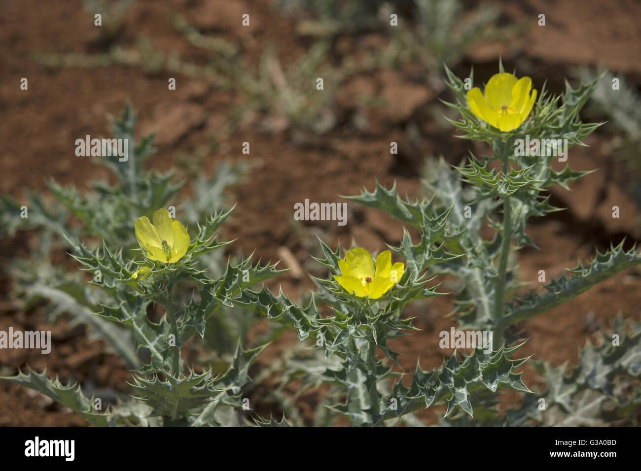Argemone Mexicana Mexican Prickle Poppy Yellow Flower, Madhya Pradesh, India - Stock Image