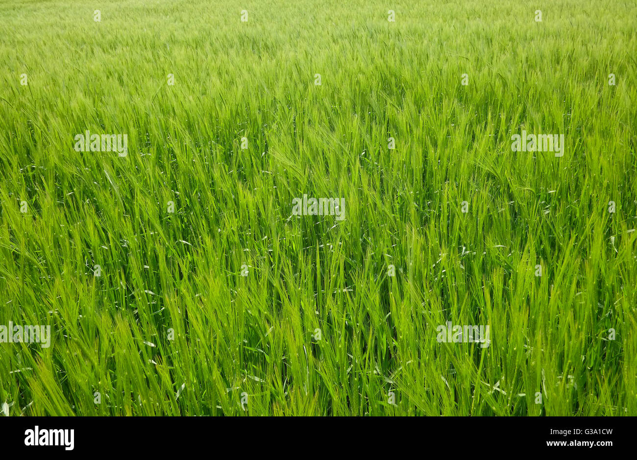 early spring wheat crop growing in field, norfolk, england - Stock Image