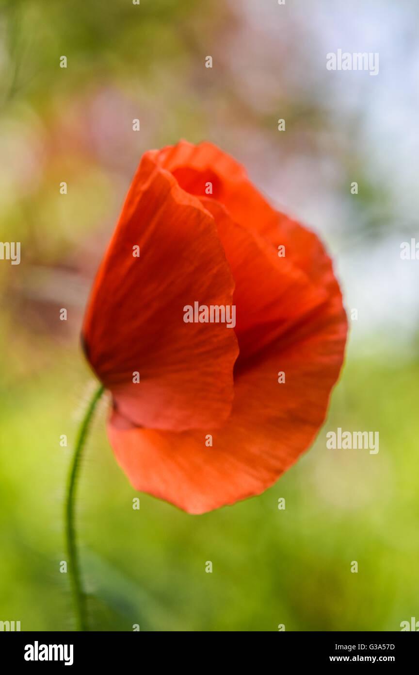 Backlit Poppy Bud Stock Photos Backlit Poppy Bud Stock Images Alamy