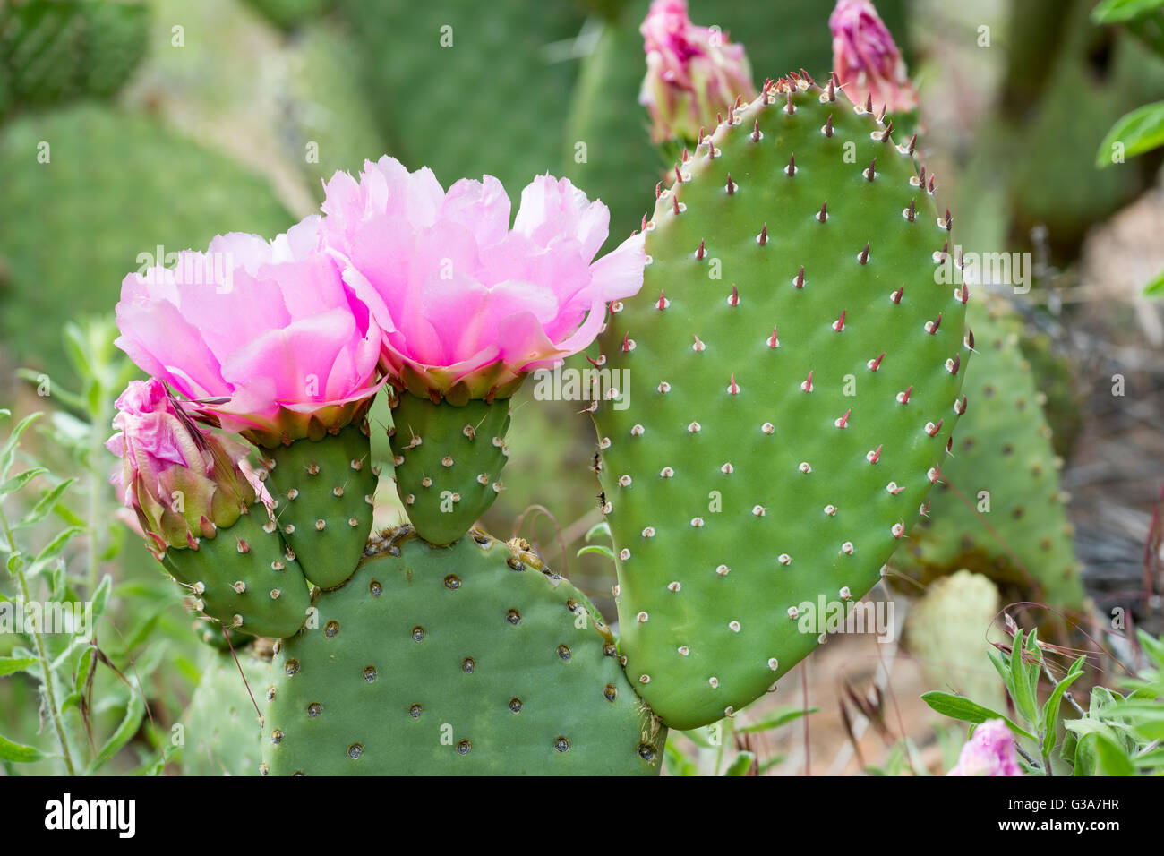 Pricklypear cactus in bloom, Zion National Park, Utah. Stock Photo