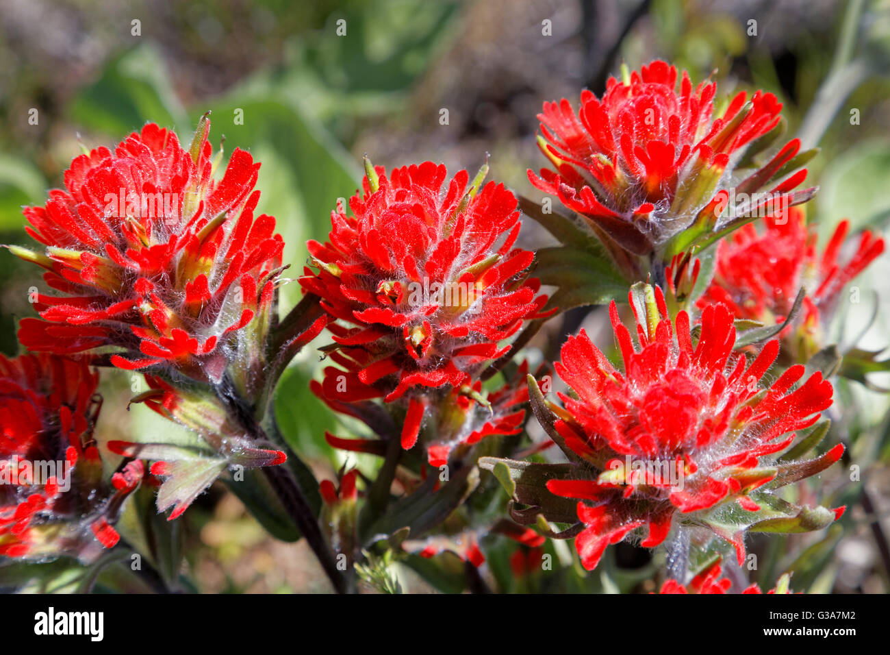 4211008323 Indian Paintbrush Close Up Flowers Brilliant Bright