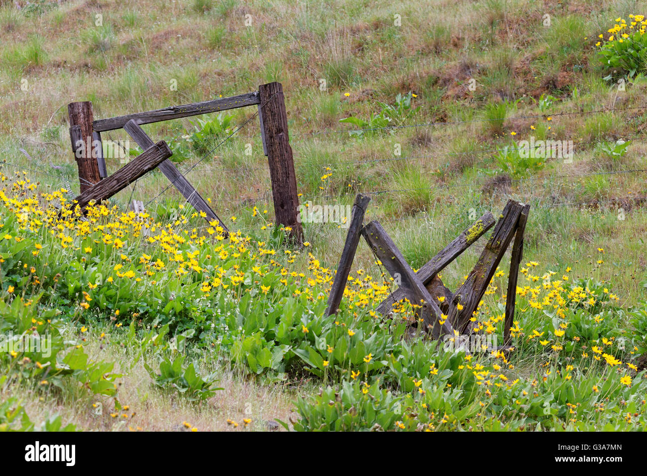 42,135.08792 Old weathered fence posts and yellow flowers Balsam Root on meadow hillside Stock Photo