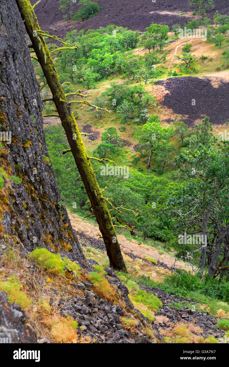 42,136.08855 branchless dead tree below & leaning on rock cliff, background of oak trees & lava in valley, - Stock Image