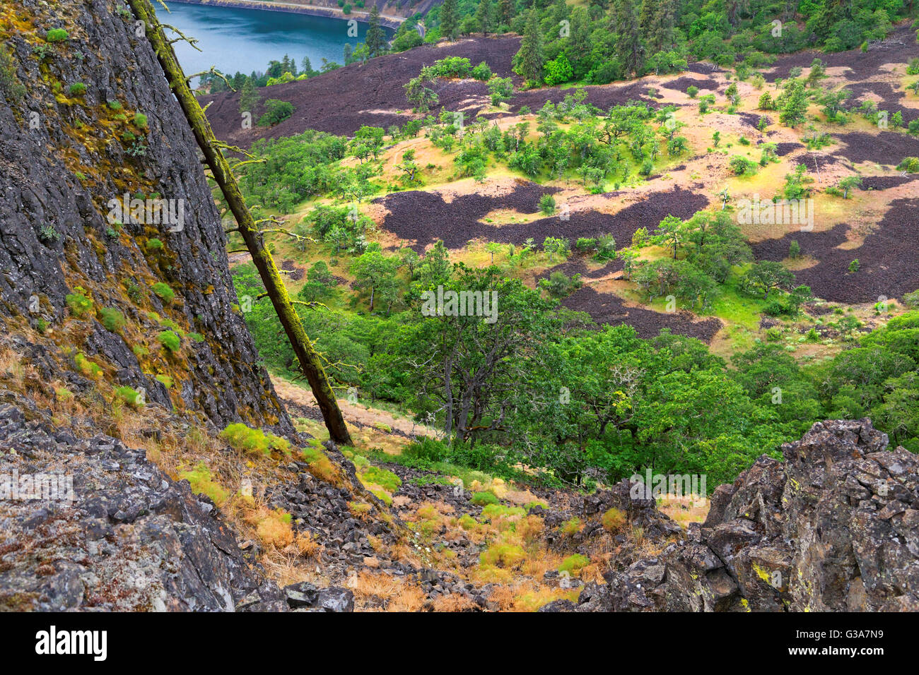 42,136.08857 branchless dead tree below & leaning on rock cliff, background of oak trees & lava in valley, - Stock Image
