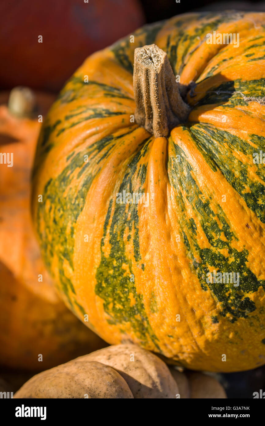Musque de Provence Pumpkin is a French heirloom cheese variety also known as Fairytale Stock Photo