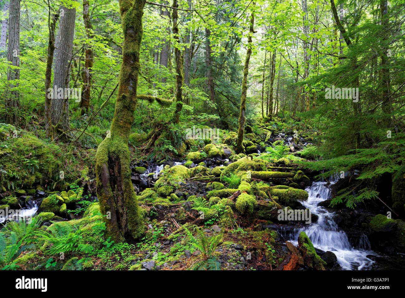 42,138.08926 Creek flowing down hill through moss covered rock boulders and dead logs under high dark forest sunlit - Stock Image