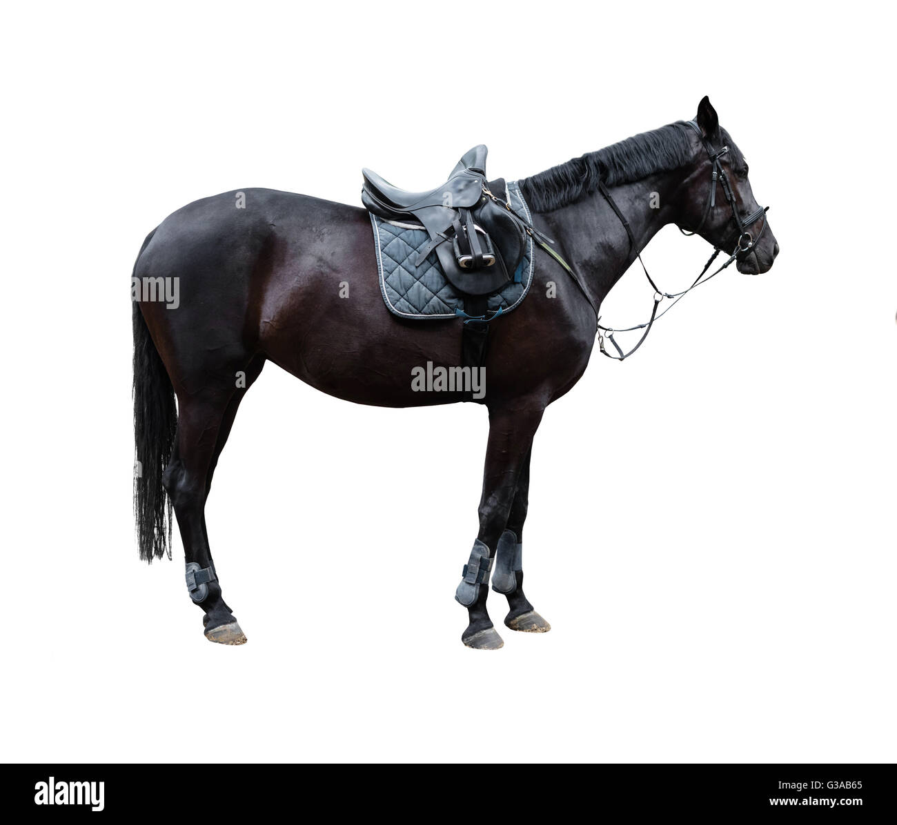 horse with saddle isolated on white background - Stock Image