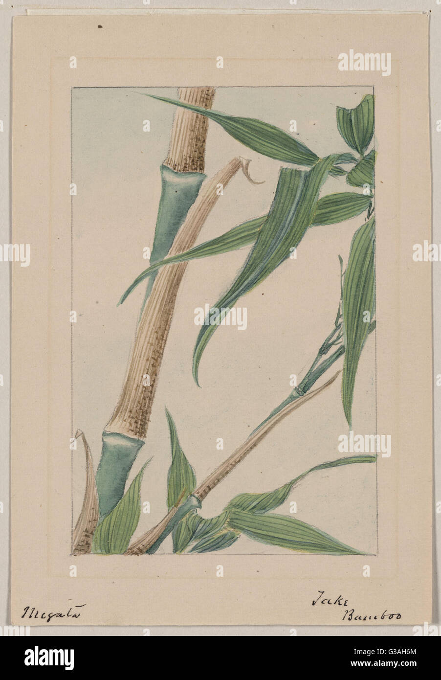 Take bamboo. Drawing shows stalk and leaves of the take bamboo plant. Date 187-. - Stock Image