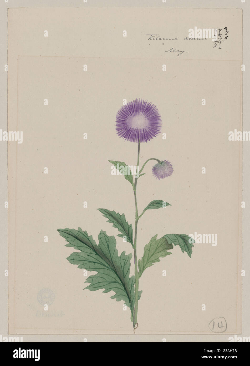 Kitsune azami - May. Drawing shows stalk with purple blossom and leaves of a Japanese plumed thistle. Date 187-. - Stock Image