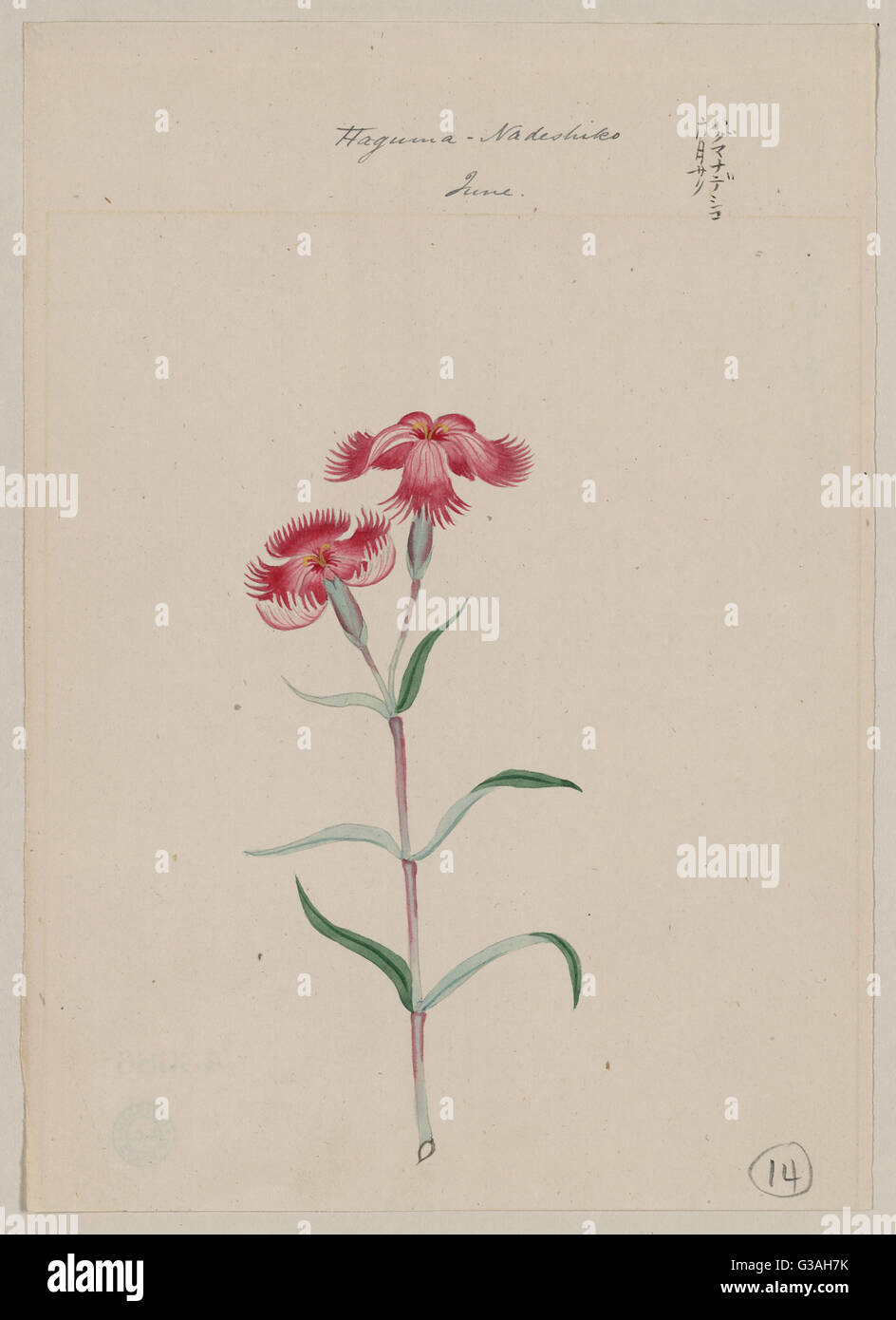 Haguma nadeshiko - June. Drawing shows two fringed pink nadeshiko flower blossoms on stem with leaves. Date 187 - Stock Image