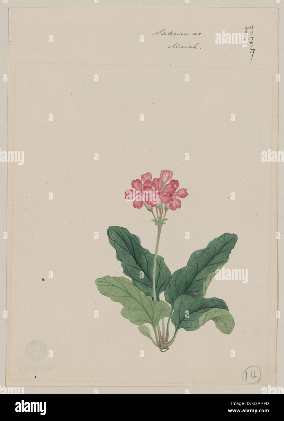 Sakura sou - March. Drawing shows pink blossoms on a stem and leaves of the primrose. Date 187-. - Stock Image