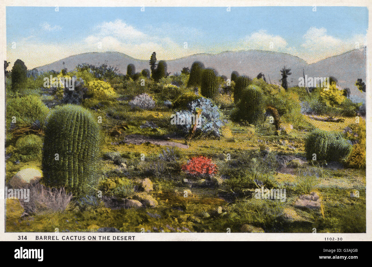 Barrel cactus on the desert - Arizona, USA     Date: circa 1930s - Stock Image