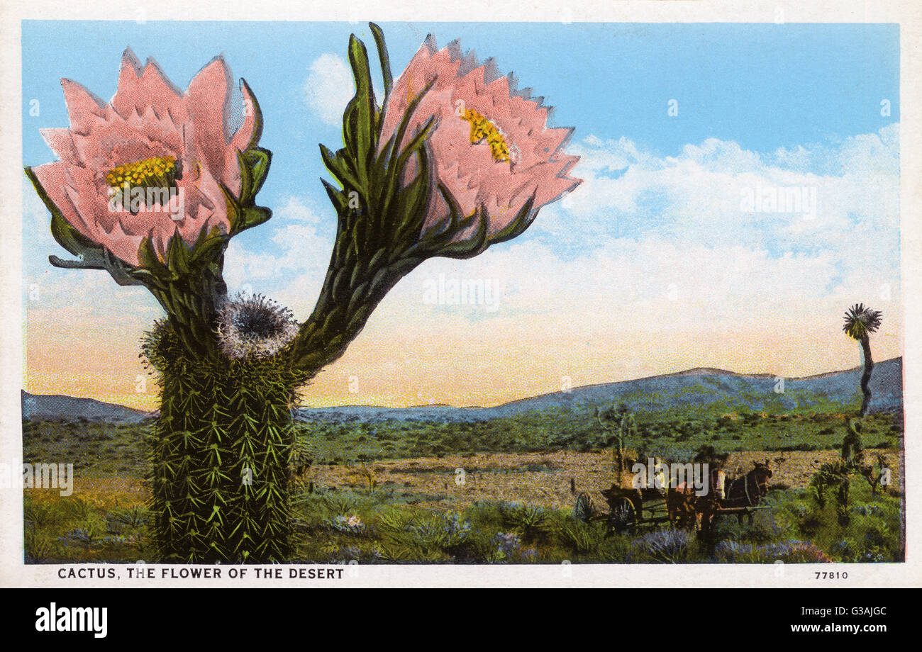 Cactus - The Flower of the Desert - Arizona, USA     Date: circa 1930s - Stock Image
