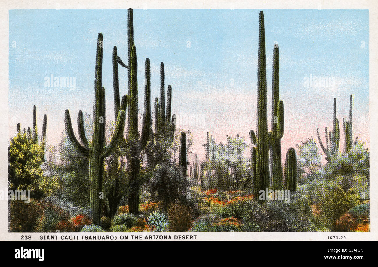 Giant Cacti (Sahuaro) - Arizona, USA     Date: circa 1930s - Stock Image