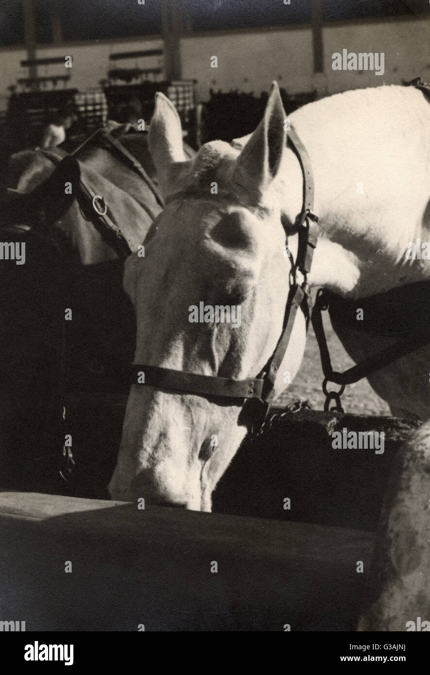 Horse Transport - Two fine horses - Malta  - WWII. Photograph taken by Colonel David Sutherland of SBS and SAS, Stock Photo