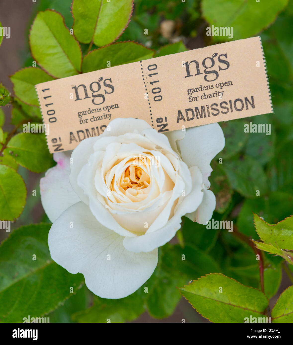 National Gardens Scheme admission tickets on a white rose. - Stock Image