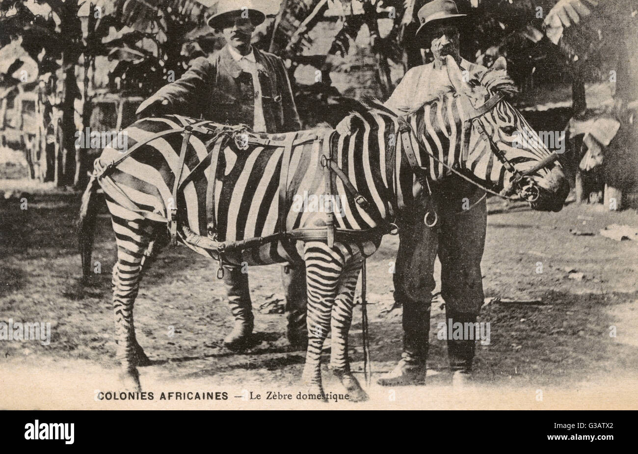Gabon, Africa - Domesticated Zebra (seemingly used for pulling a carriage) and two colonials!     Date: circa 1910s - Stock Image