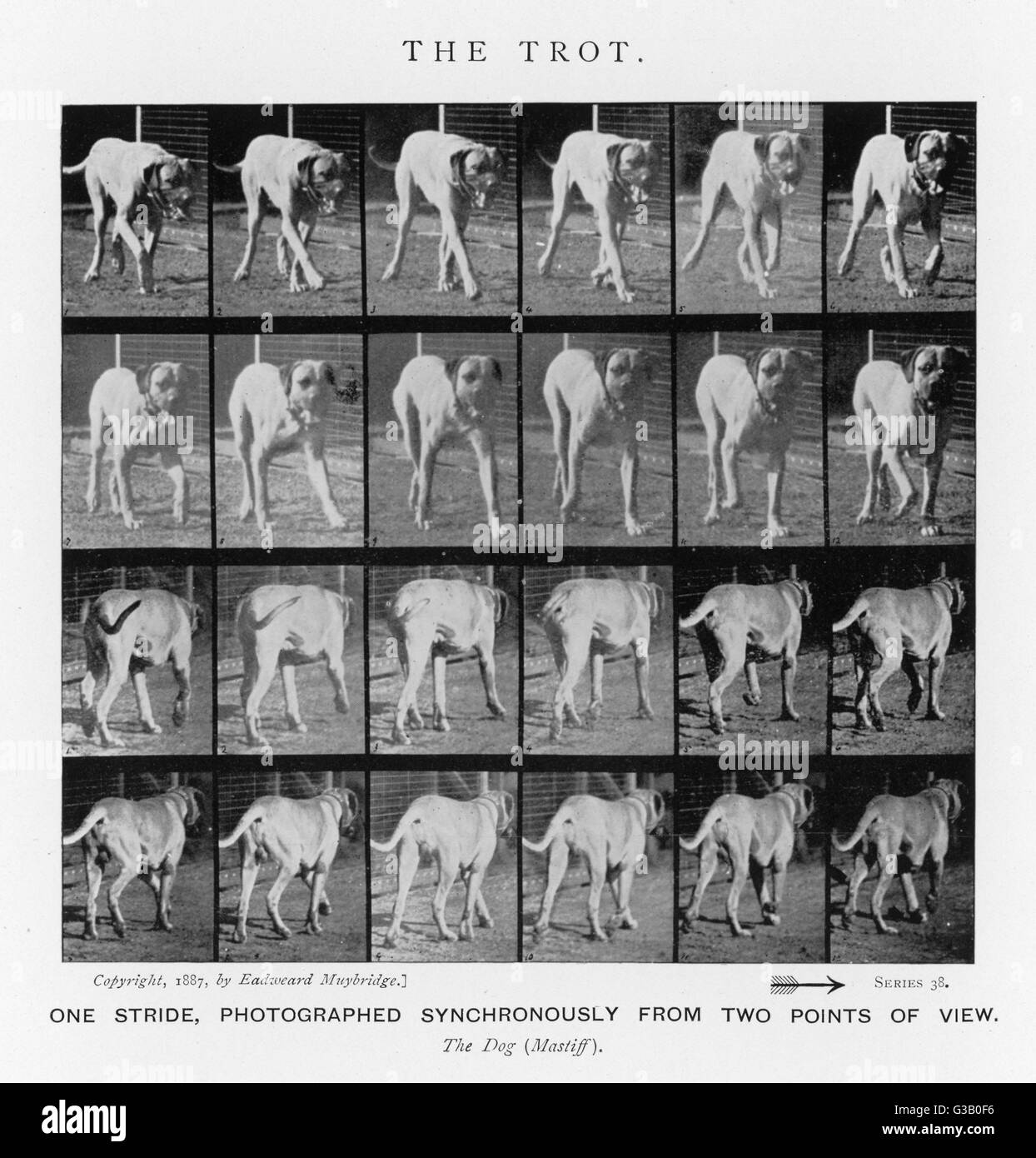 Dog (mastiff) trotting : One stride, photographed  synchronously from two points of view       Date: 1880s - Stock Image