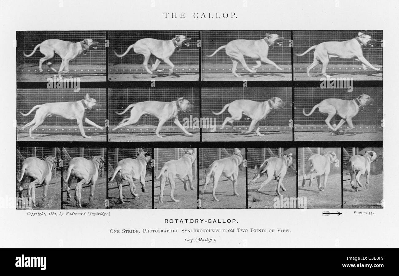 Dog (mastiff) galloping - one stride photographed  synchronously from two  points of view       Date: 1880s - Stock Image