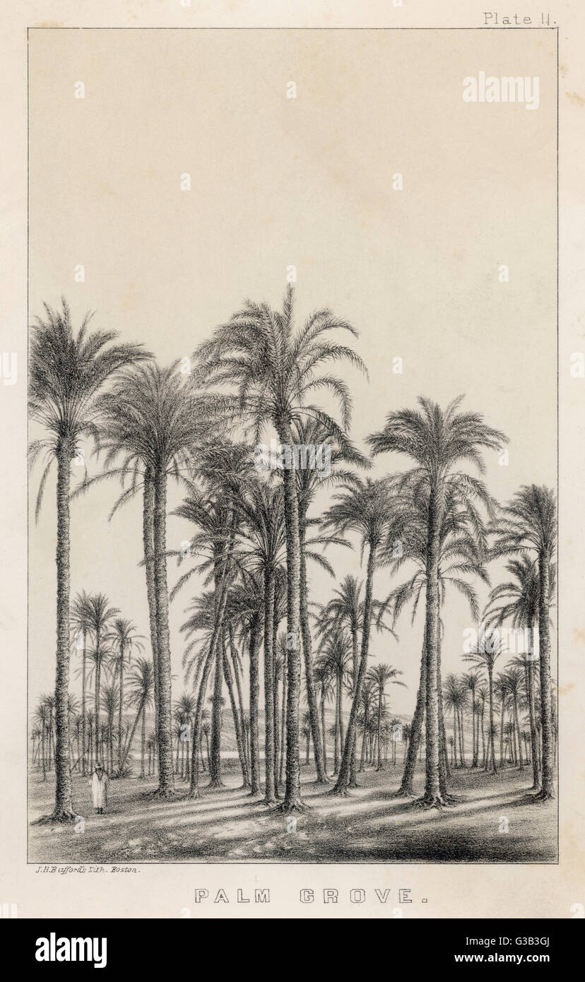Palm grove          Date: Late nineteenth century - Stock Image