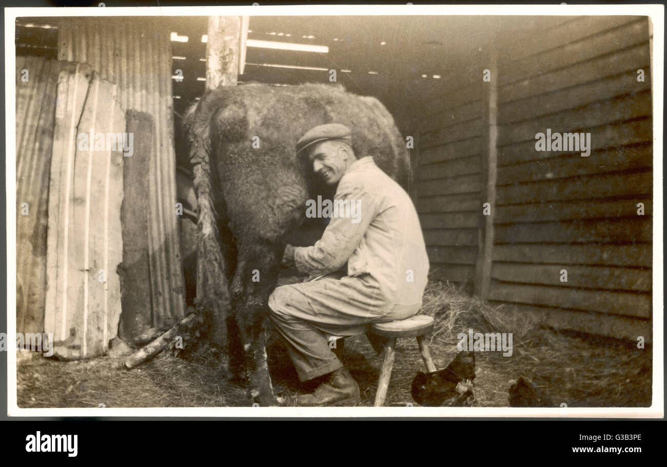 A farmworker milks a cow by  hand in a very primitive cow- house        Date: early 20th century - Stock Image