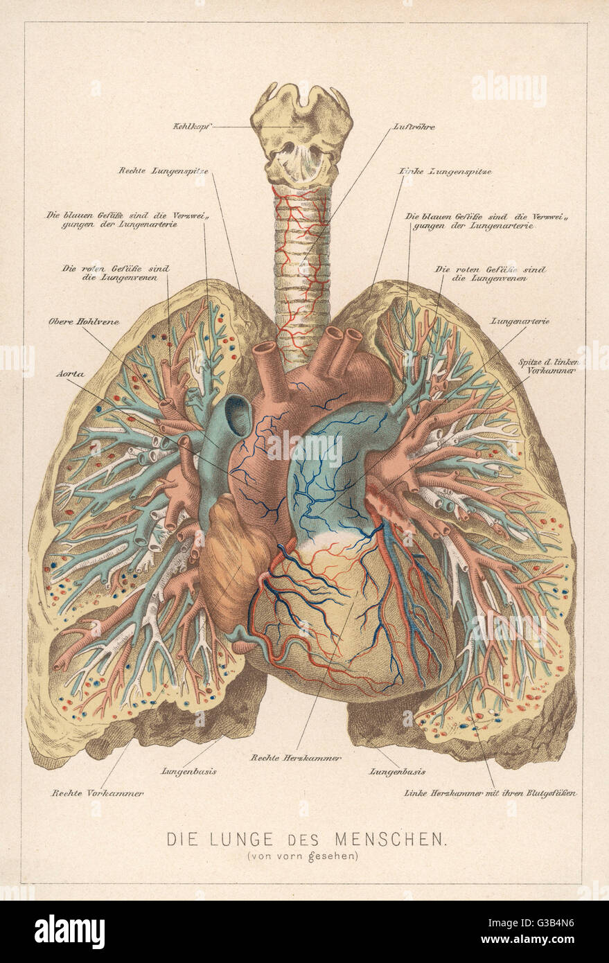 Detailed diagram of the lungs - Stock Image