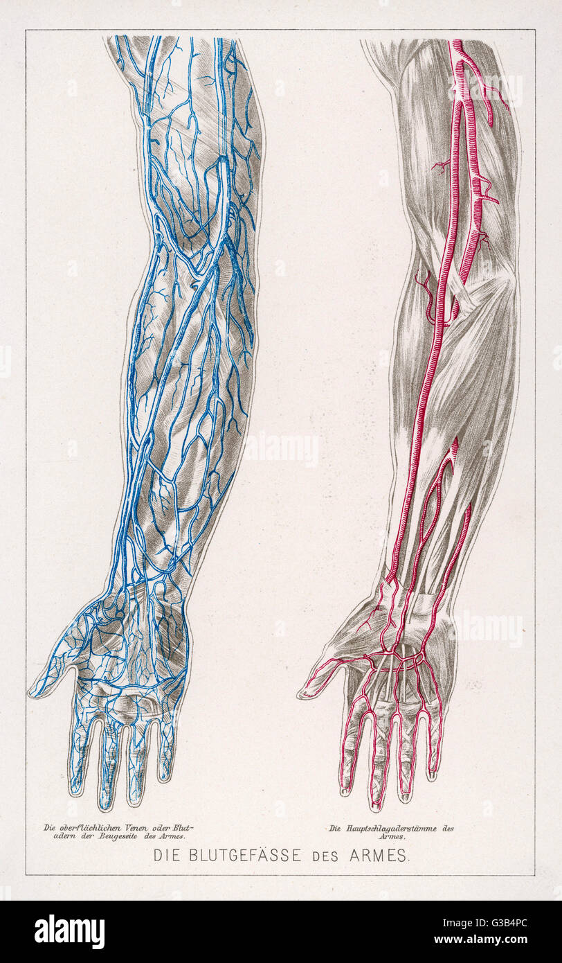 diagram to show the network of veins and arteries in the arms