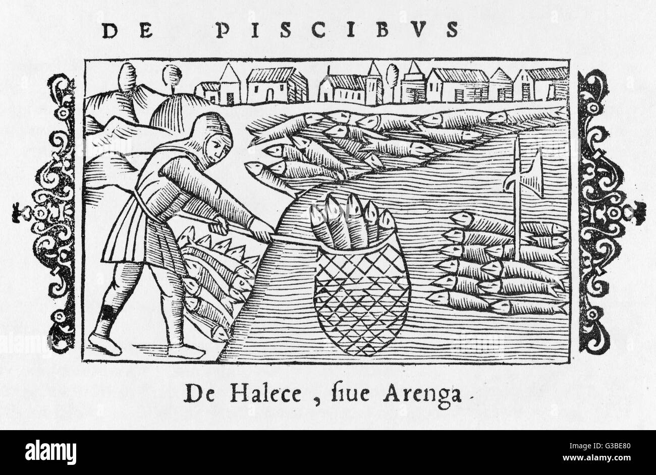 A herring fisherman lands a  mighty haul in his net.         Date: 1555 - Stock Image