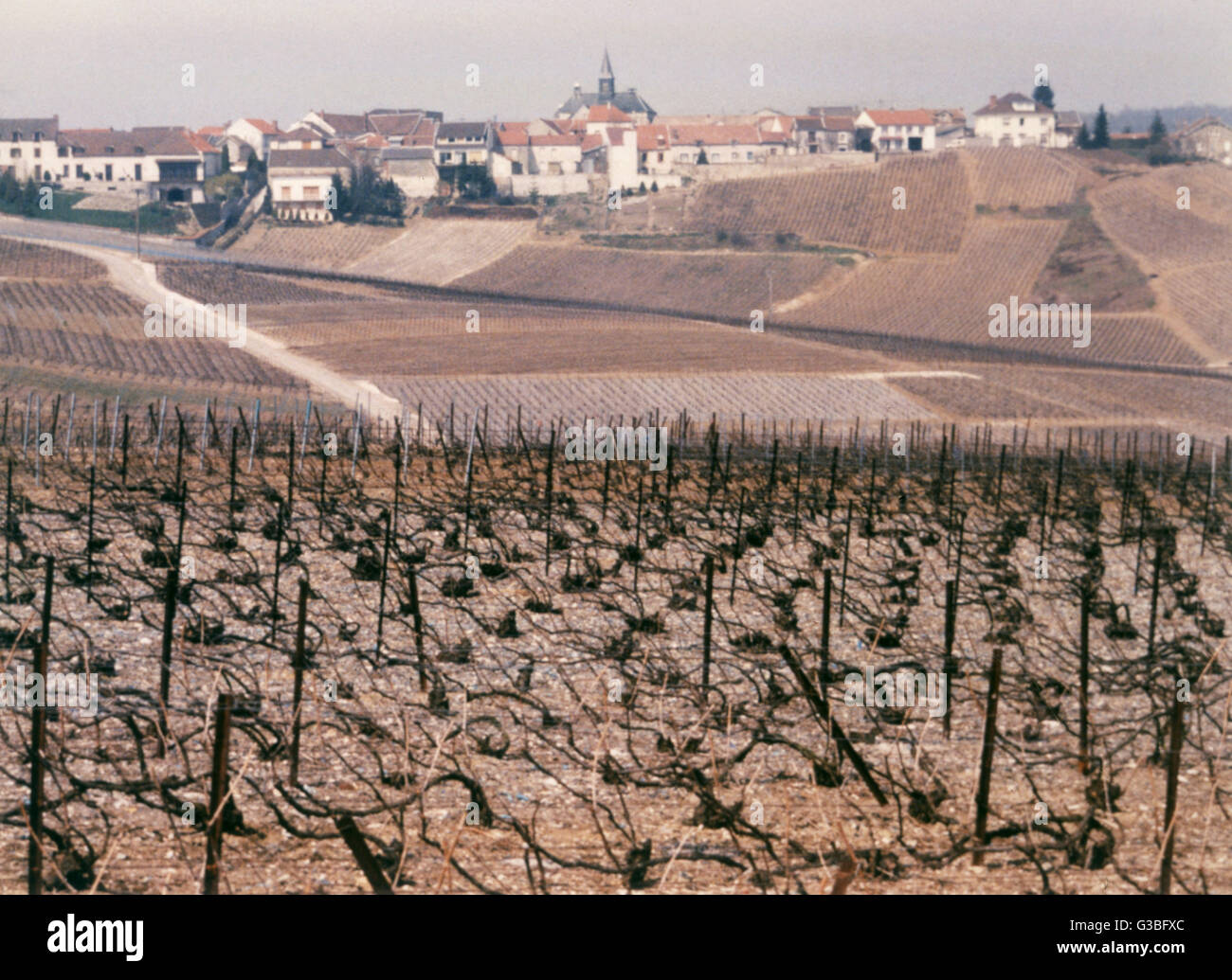 A champagne vineyard near  Epernay.        Date: 1987 - Stock Image