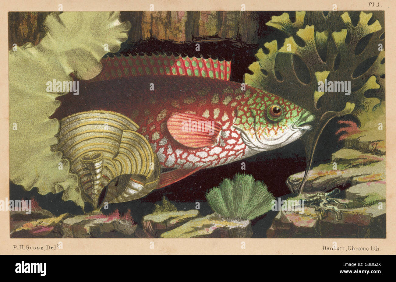 An 'ancient' wrasse.         Date: 1856 - Stock Image