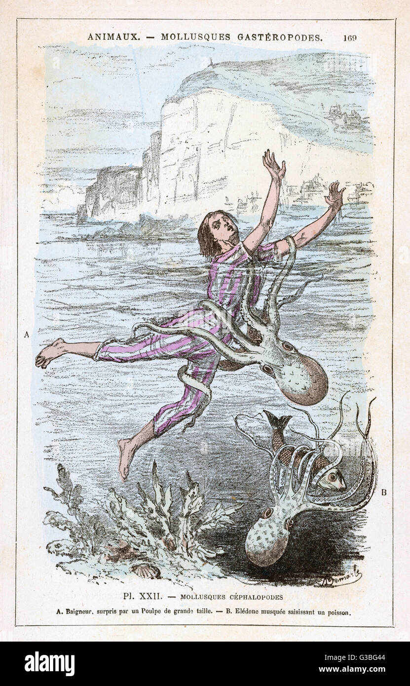 An octopus attacks a bather  and wraps its tentacles around  his body.        Date: circa 1870 - Stock Image