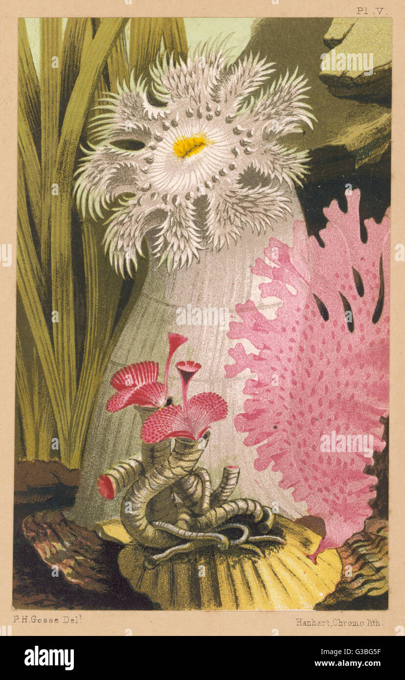 A plumose anemone and some  other marine creatures.        Date: 1856 - Stock Image