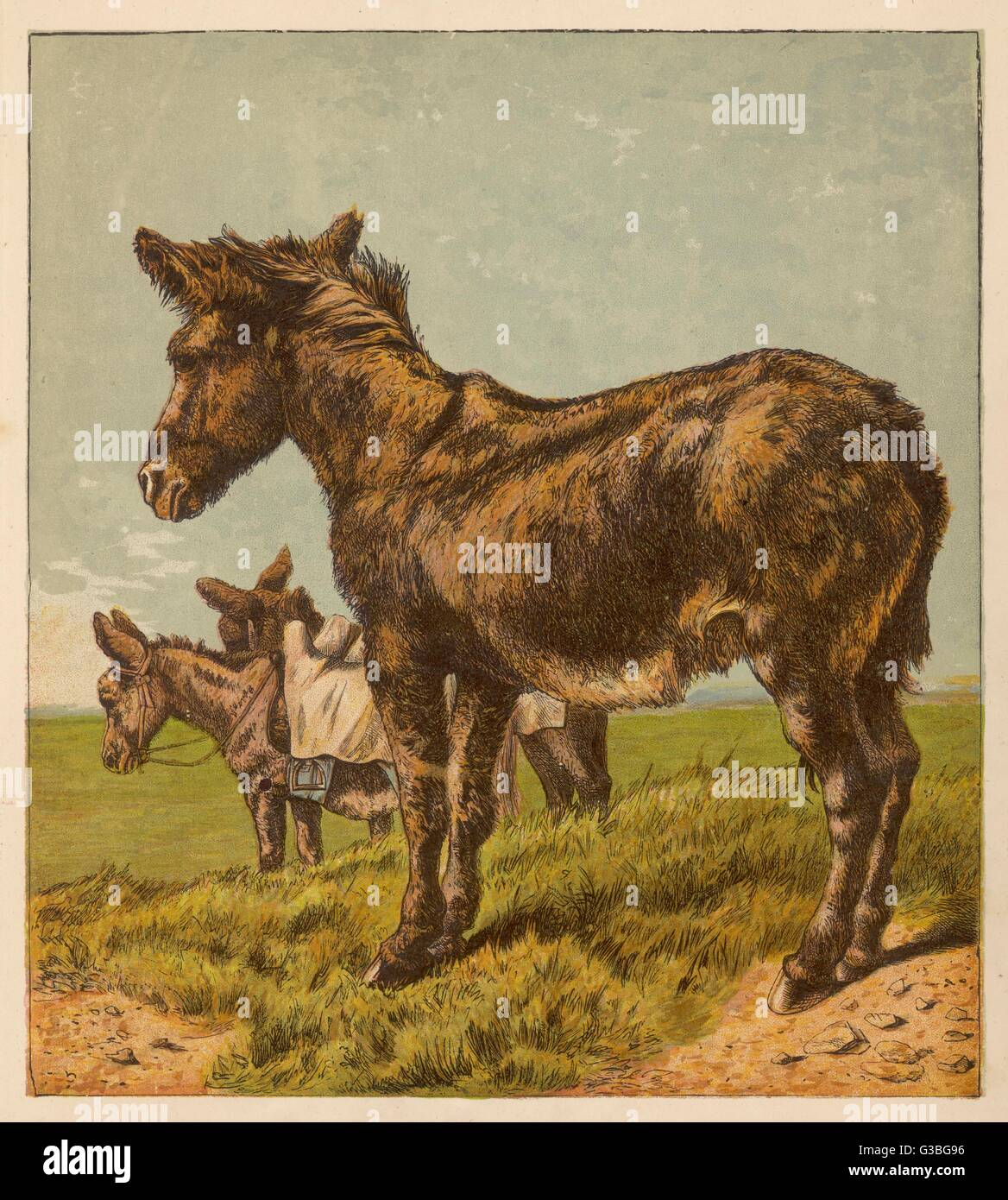 Three donkeys in a field.        Date: circa 1860s - Stock Image