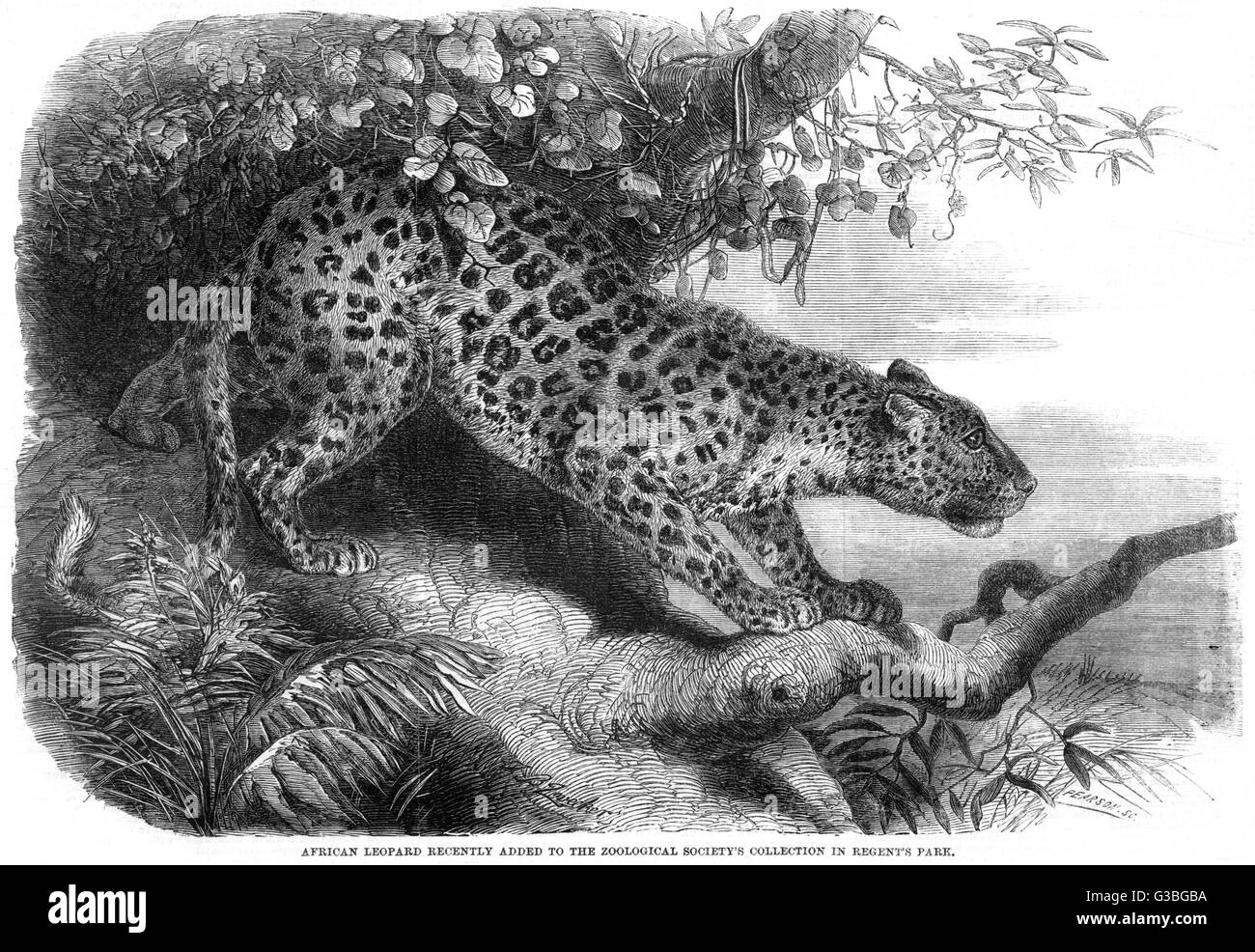 An African leopard recently  added to the Zoological  Society's collection in  Regent's Park.           - Stock Image