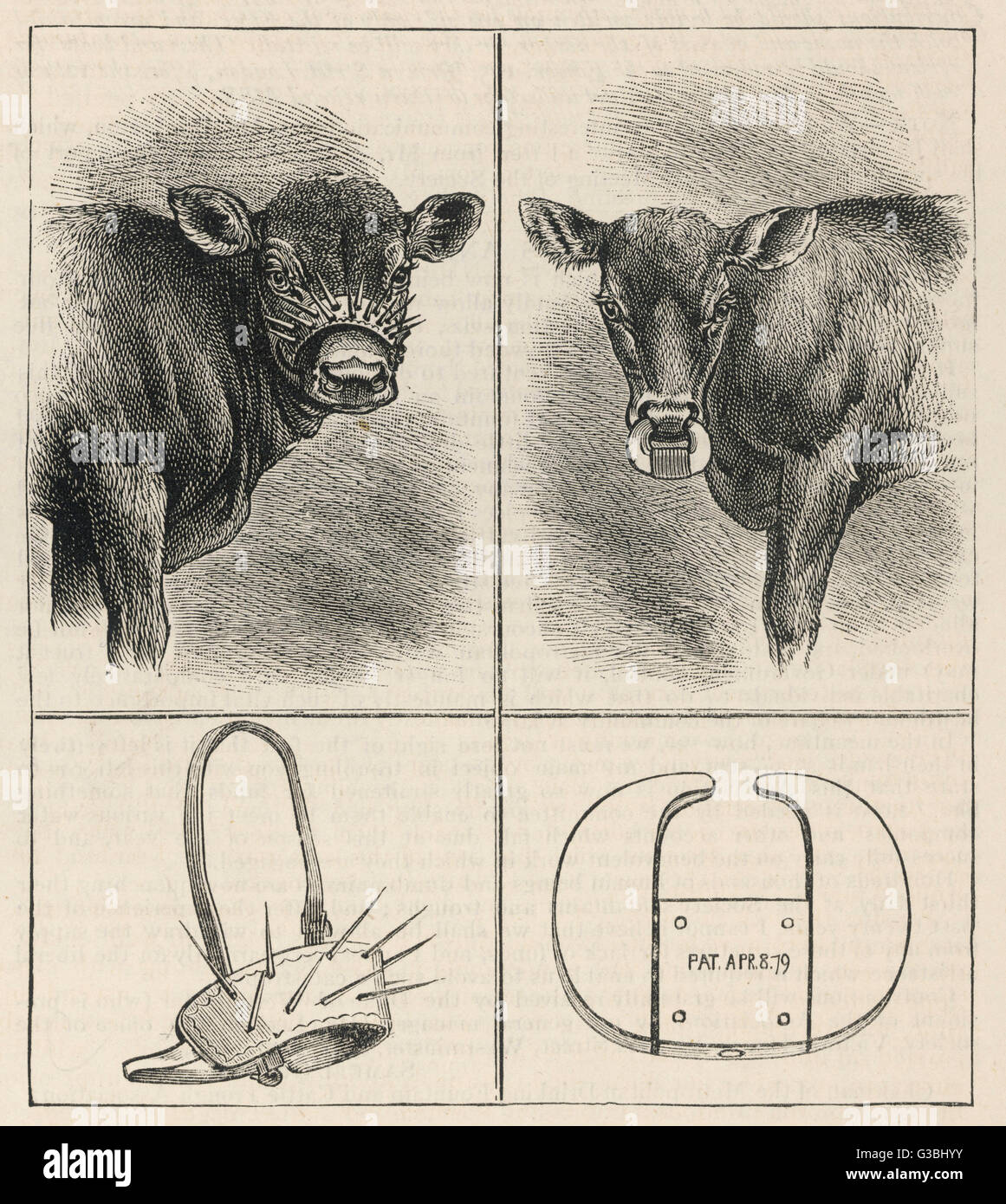 Rather alarming-looking calf-weaning devices.        Date: 1879 - Stock Image