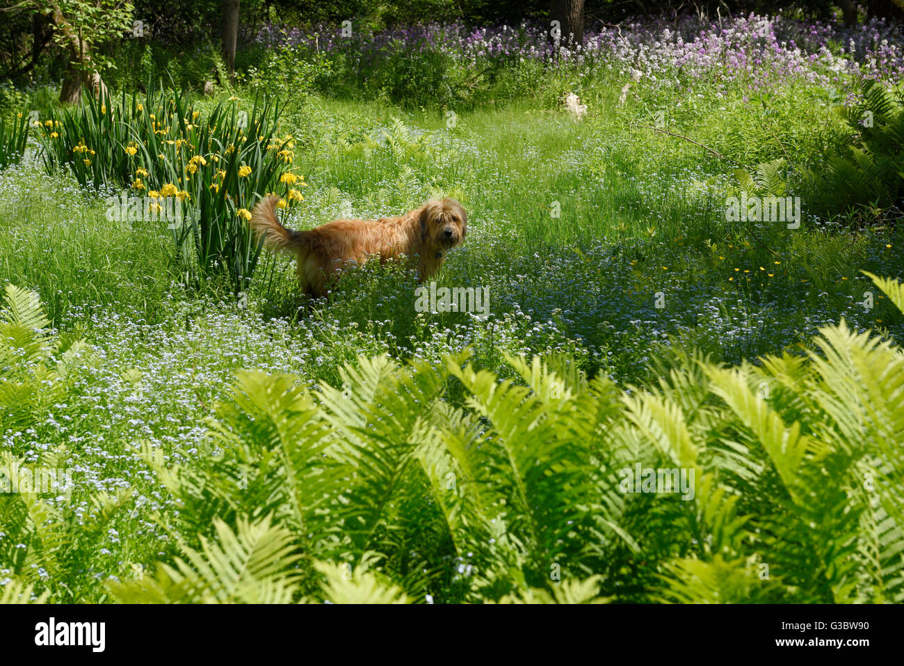 Dog in field of forget me not flowers ostrich fern yellow flag iris dog in field of forget me not flowers ostrich fern yellow flag iris and dames rocket izmirmasajfo Images