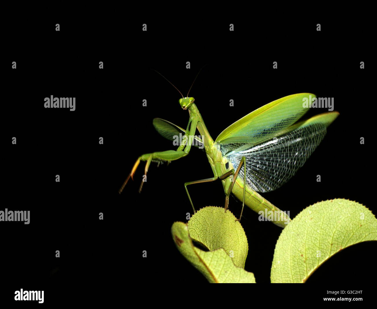 Praying Mantis with wings spread. Stock Photo