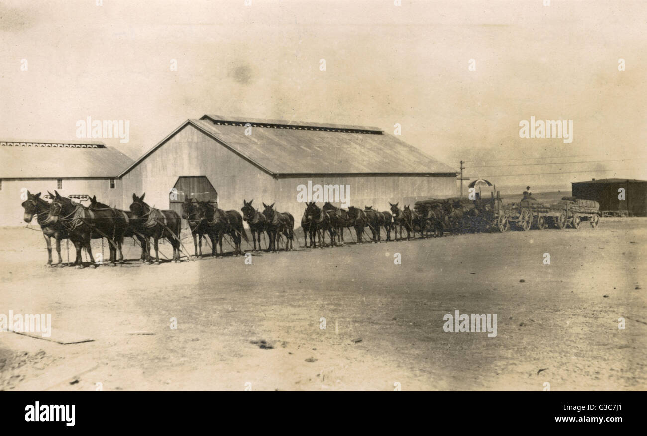 A team of 20 mules at High Point, North Carolina, USA, the traditional way of hauling freight.  The team belongs - Stock Image